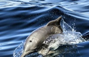 dolphin watching in oman